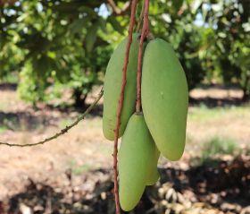 Vietnamese green mango imports double