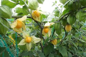 Ecuador targets UK & Europe for goldenberry growth