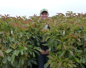 Westfalia launches new avo rootstocks