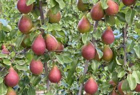 QTee tress planted in Australia