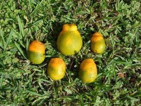 New treatments closer for citrus disease