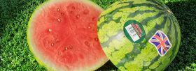 Bumper crop of British watermelons