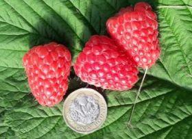 JHL hails raspberry breakthrough