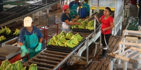 Waitrose runs Fairtrade banana pilot
