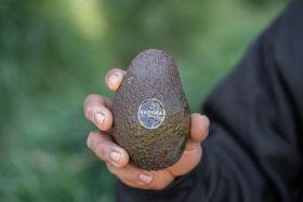 Cultivating a taste for avocados