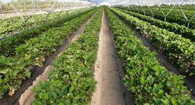 Talete helps berry growers cut water use