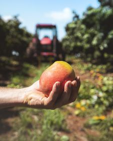 Australian mango season officially declared open