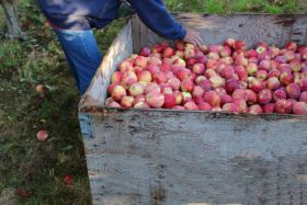 Harvest underway for Autumn Glory apples