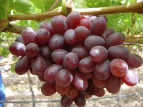 Return to normality for RSA grapes