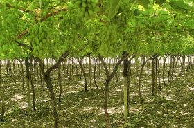Namibia eyes better grape season