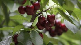 Chile acts swiftly to avert cherry crisis