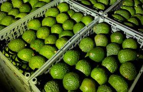 Avo trial opens door for Ethiopian produce exports