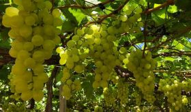 New grape variety for North East Brazil
