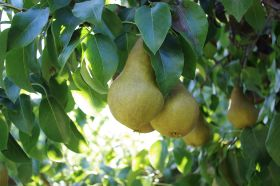 CMI Orchards in pear partnership