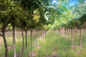 Europe awaits Namibian grapes