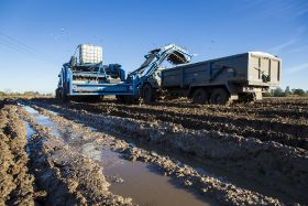Potato yields rally despite tough weather