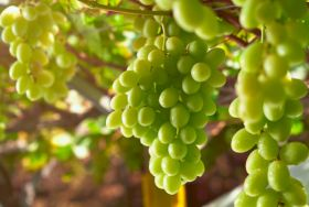 San Miguel kicks off Peruvian grape harvest