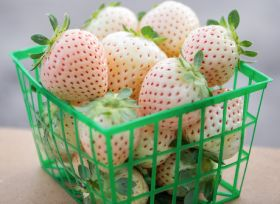 UF/IFAS develops white strawberry