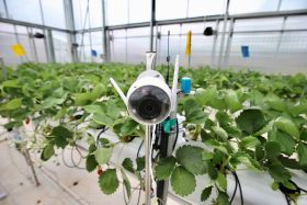 Tech tops tradition in strawberry competition