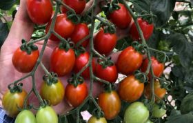 BASF launches ToBRFV resistant tomato in Mexico
