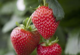 British berry sales up 19 per cent at Iceland