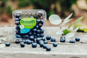Driscoll's harvests first 'organic in-conversion' blues