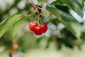 Research reveals cherry power