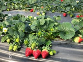 Rustic strawberry varieties a hit for El Pinar