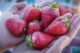 New strawberry varieties from UC Davis