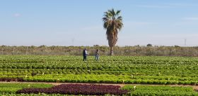 Seed companies showcase lettuce offer