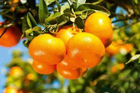 Albanian mandarin exports on the rise