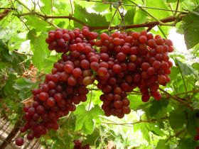 Peruvian grapes off to flying start