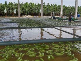 Q1 Ecuadorean banana exports dip