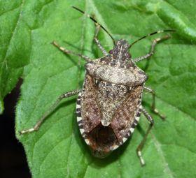 Invasive stink bug arrives in UK