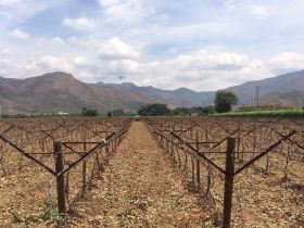 More Colombian grapes heading for Europe