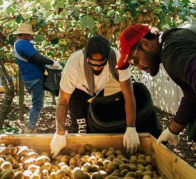 New Zealand's kiwifruit crop to grow again