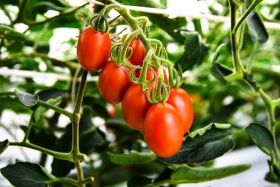 Sanatech Seed launches world's first GE tomato