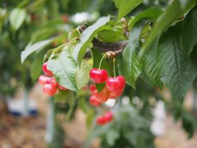 Beta prepares for Peru's first cherry exports