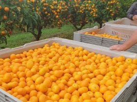 Sweet start for New Zealand mandarin season