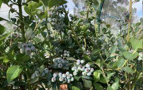 New blueberries for Australian market