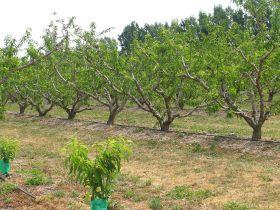 New PGI for Murcian peach producers