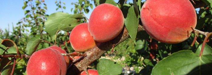 Worldwide Fruit signs stonefruit deal with Cot