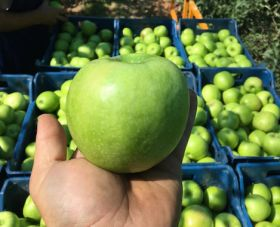 Albanian apples head for new markets