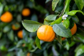 Sunkist offers Ojai Pixie tangerines