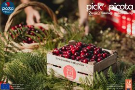 Picota cherries arrive in the UK