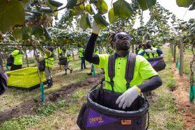 NZ kiwifruit harvest draws to a close