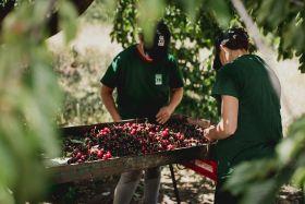 European Picota growers round off successful season