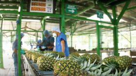SIIM hails Zero Carbon pineapple