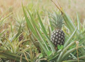Pineapple partnership for Dole Sunshine