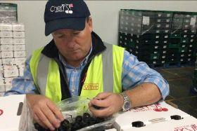 Weather puts strain on UK cherry season